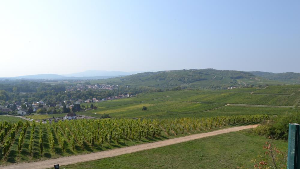 A Wolxheim, au début de la vallée de la Bruche, 20 exploitations viticoles exploitent 150 hectares de vignes