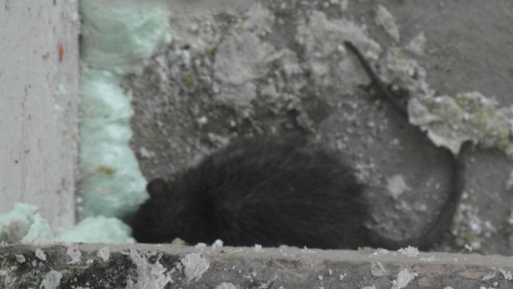 Rue Brantôme, un rat tranquillement niché dans un immeuble est pris en photo par un locataire.