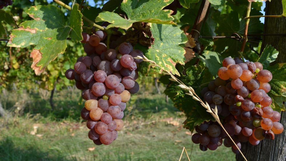 Les 42 parcelles offrent des raisins dont l'épaisseur des peaux varient, ce qui permet aux vins d'avoir des textures différentes