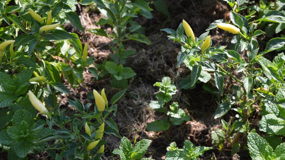Selon Joëlle Quintin, les produits cultivés donnent des indices sur l'origine des jardiniers. Ici des piments jaunes.