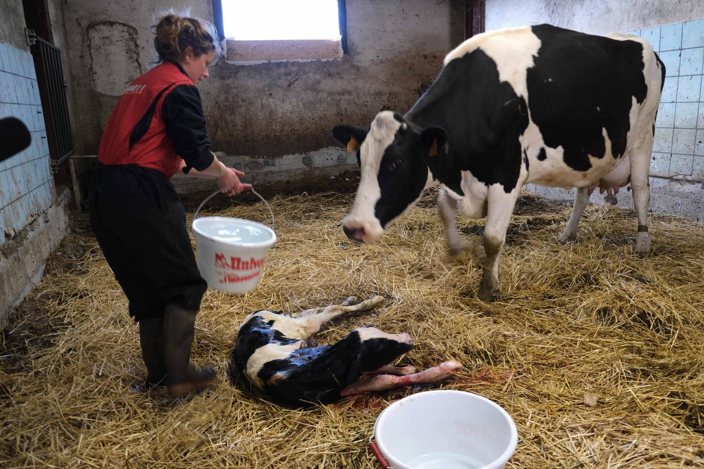 Laurine Rousset, présidente des Jeunes Agriculteurs de Haute-Loire, accueille un veau, né il y a quelques minutes