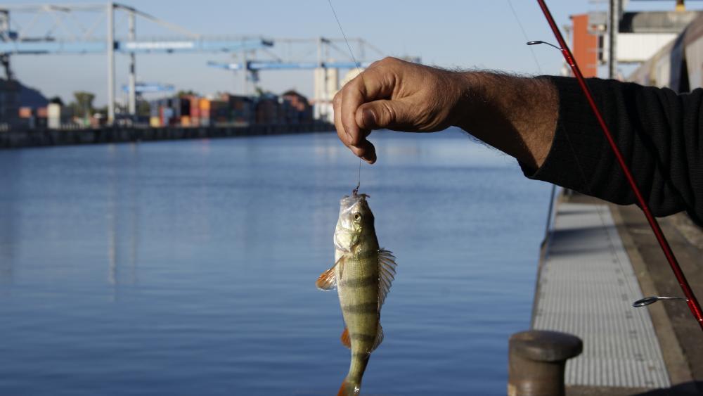 Tant pis pour la perche, poisson carnassier, qui est sortie de sa cachette pour bien se nourrir avant le début de l'hiver.