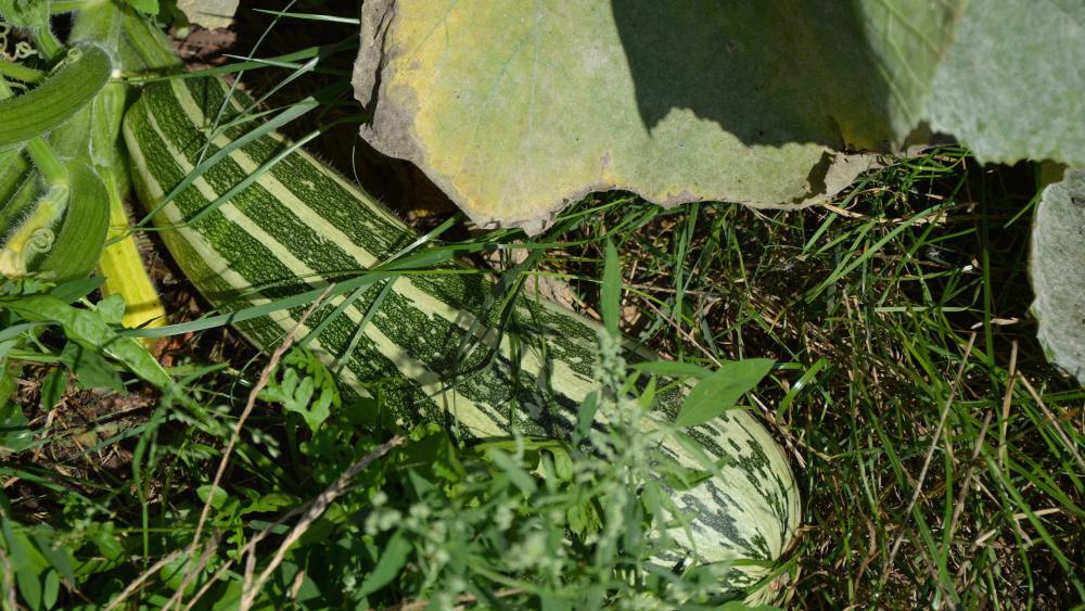 Une courgette géante, l'un des rares légumes déjà cultivés dans le jardin de la maille Karine.