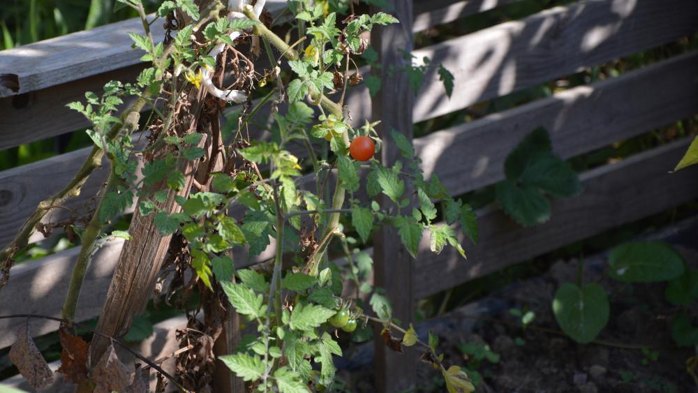Les traditionnelles tomates, très populaires, ont eu beaucoup de difficultés à mûrir à cause d'un été pluvieux.